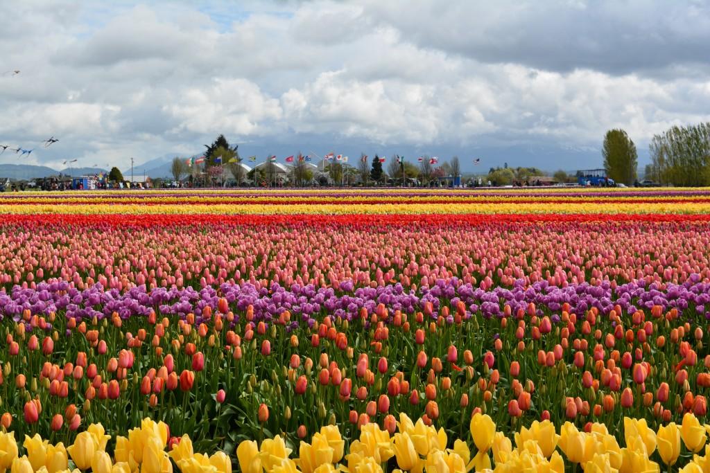 Hypnotic Tulips - Michael Brannan